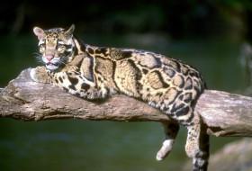 леопард, ветка