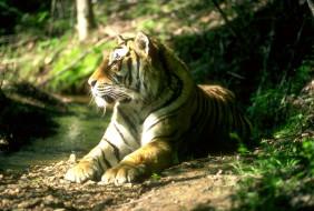 тигр, лес, ручей