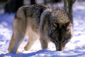 зима, волк, снег