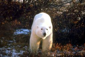 животные, медведи, белый, медведь, кусты
