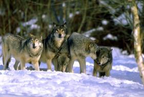 стая, снег, зима, лес, волки