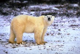 животные, медведи, снег, белый, медведь