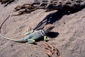 коряги, песок, ящерица