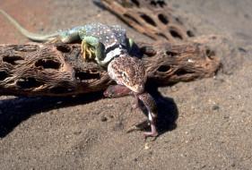 ящерица, песок, коряги