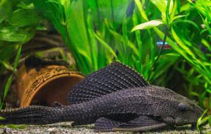 водный, мир, ПтеригоплихтЮ рыба, аквариум, вода, сом, чёрный, дно