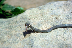 змея, добыча, камень