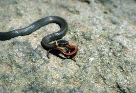 змея, добыча, камни