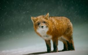 снег, зима, лиса