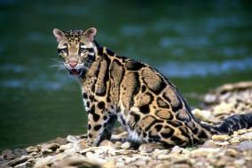 животные, дымчатые леопарды, камни, берег, река, леопард