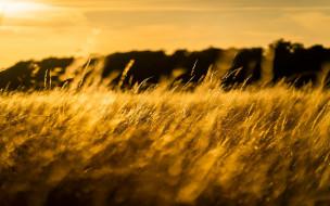 природа, макро, колоски, трава, свет, солнце, поле, луг