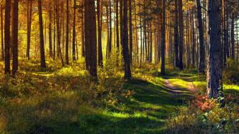 природа, лес, тропинка, сосны