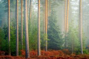природа, лес, папоротник, туман, сосны