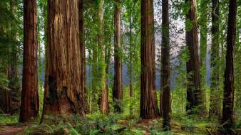 природа, лес, папоротник, сосны