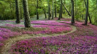 природа, лес, вереск