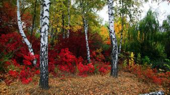природа, лес, листопад, березы, осень