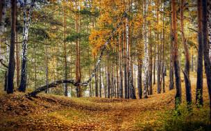природа, лес, осень, листопад, березы