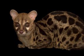 генета, животные, генеты, genetta, хордовые, хищные, млекопитающие, виверровые