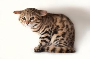 животные, коты, кошка, млекопитающее, котёнок, уши, прижал, шерсть