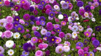цветы, астры, клумба