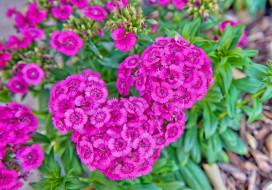 цветы, гвоздики, розовый, шабо, гвоздика