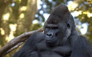 примат, шерсть, взгляд, поза, чёрный, обезьяна, Горилла