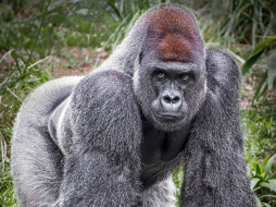 поза, примат, чёрный, шерсть, взгляд, обезьяна, Горилла