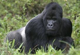 поза, примат, чёрный, шерсть, обезьяна, Горилла, взгляд