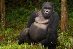 шерсть, взгляд, поза, примат, чёрный, обезьяна, Горилла