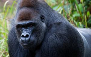 поза, обезьяна, чёрный, примат, Горилла, шерсть, взгляд