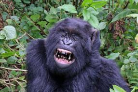 gorilla, животные, обезьяны, шерсть, взгляд, поза, примат, чёрный, обезьяна, горилла