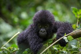 обезьяна, Горилла, малыш, детёныш, шерсть, взгляд, поза, примат, чёрный