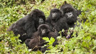 детёныш, семья, обезьяны, шерсть, взгляд, поза, примат, чёрный, обезьяна, Горилла