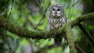 животные, совы, на, груди, выделяется, большое, жабо, под, клювом, пестрая, неясыть, североамериканский, вид, сов, питается, мышами, брюхе, имеются, коричневые, полосы, размах, крыльев, 85, см, глаза, чёрные, не, имеет, ушей, обитает, в, лесах