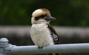 kookaburra, животные, зимородки, птица, зимородковые, ракшеобразные, хордовые, австралия