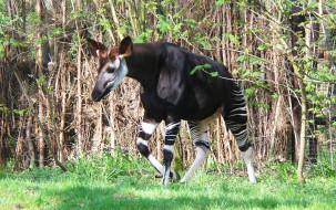 okapia, животные, жирафы, johnston, johnstoni, животное, млекопитающее, окапи, джонстона, парнокопытные, хордовые, жирафовые, африка