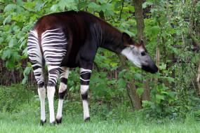 okapia johnstoni, животные, жирафы, okapia, johnston, johnstoni, животное, млекопитающее, окапи, джонстона, парнокопытные, хордовые, жирафовые, африка