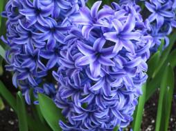 цветы, гиацинты, синий