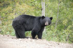 барибал, животные, медведи, лес, хищник, чёрный, медведь