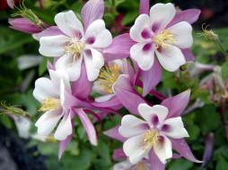 цветы, аквилегия , водосбор