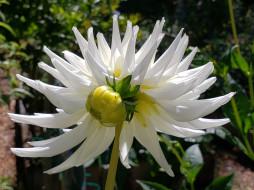 цветы, георгины, макро