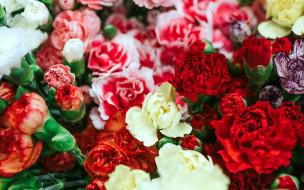 цветы, гвоздики, разноцветные