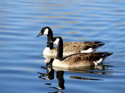 гуси, животные, пара, вода, птицы