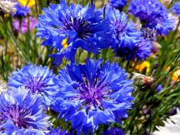 цветы, васильки, синий
