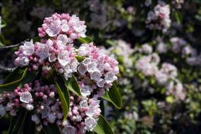 Кальмия широколистная обои для рабочего стола 1920x1280 кальмия широколистная, цветы, цветущие деревья ,  кустарники, кальмия, широколистная