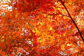 природа, деревья, осень, красные, красный, красота, много, золотая, клён, листья, дерево