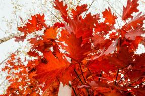 природа, листья, дерево, красные, клён, красота, много, золотая, осень, красный