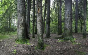 природа, лес, сосны, стволы