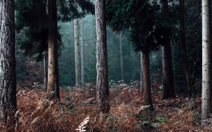 природа, лес, сосны, стволы, папоротник