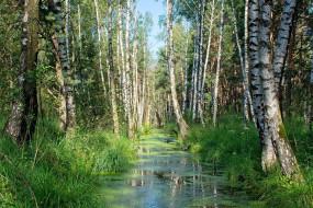 природа, лес, березы, ручей