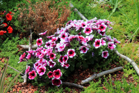 цветы, петунии,  калибрахоа